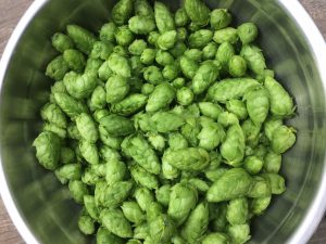 Brew #15 – IPA with year 2 homegrown hops
